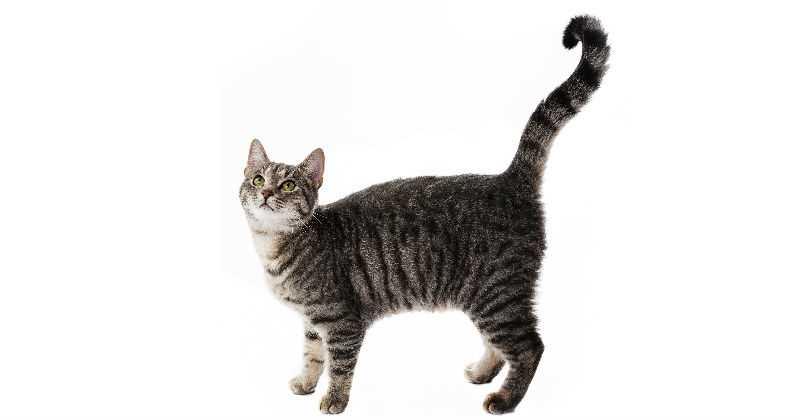 Gato Criollo Colombiano