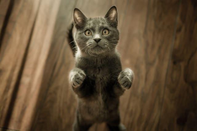 imagen de gatos de raza