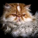 imagen de gato persa