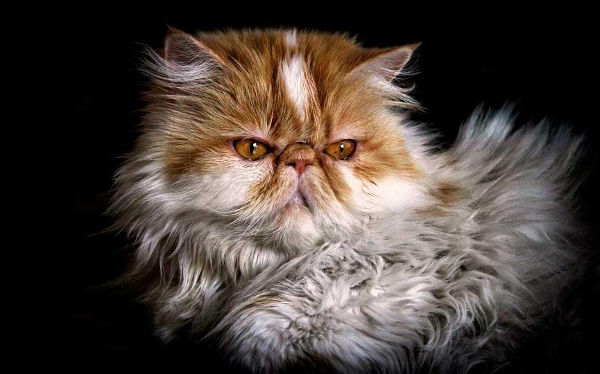 imagen de gato peludo persa