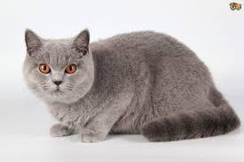gato inglés
