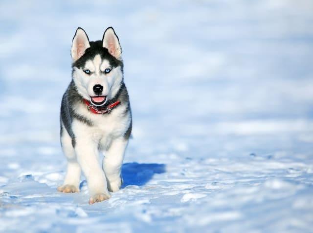 imagen perro husky siberiano
