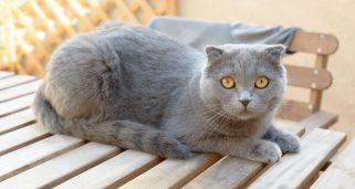 imagen de gato escocés