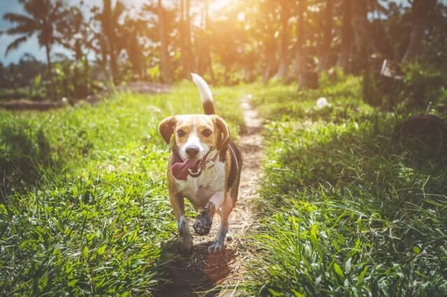 perro beagle adulto en el campo
