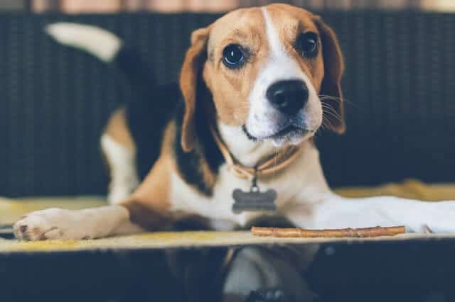 beagle-adulto