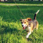 beagle-caminando-en-el-pasto