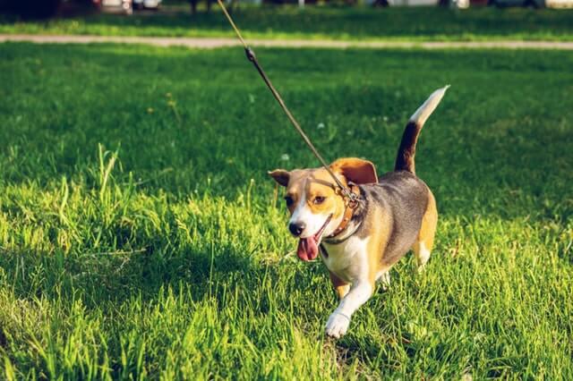 perro beagle corriendo en el pasto