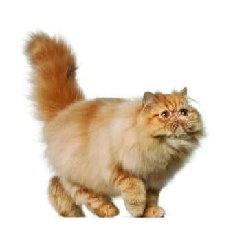 detalles gatito persa