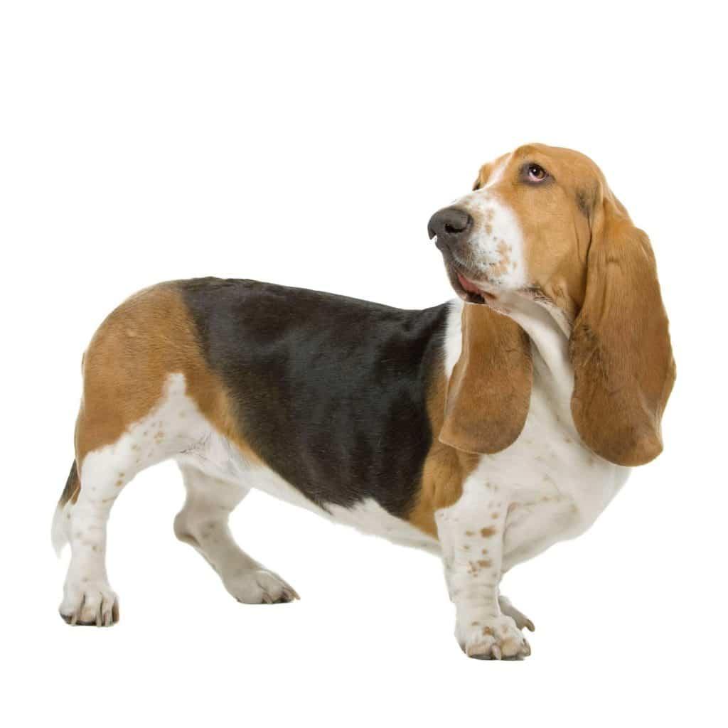 Bassett Hound de los perros más tranquilos