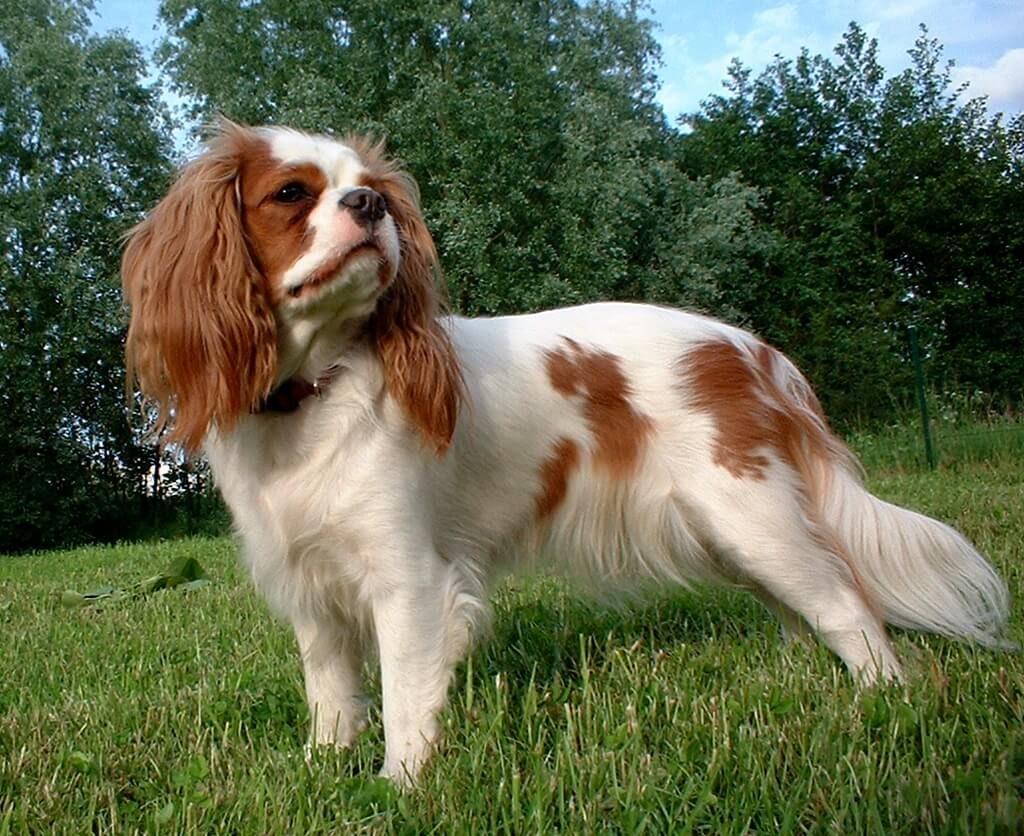 spaniel inglés de los perros más pequeños del mundo