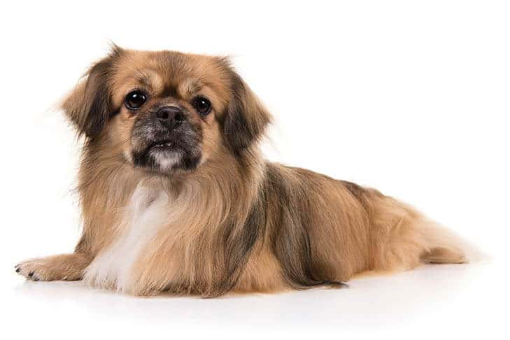 Spaniel Tibetano una de las razas de perros tranquilos