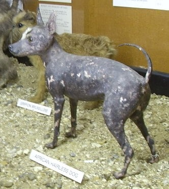 Terrier de arena abisinio perro sin pelo de africa