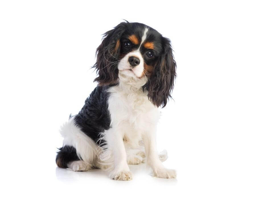 cavalier king charles spaniel una raza de perros tranquilos