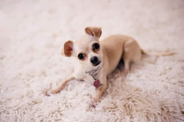 chihuahua el perro más pequeño del mundo