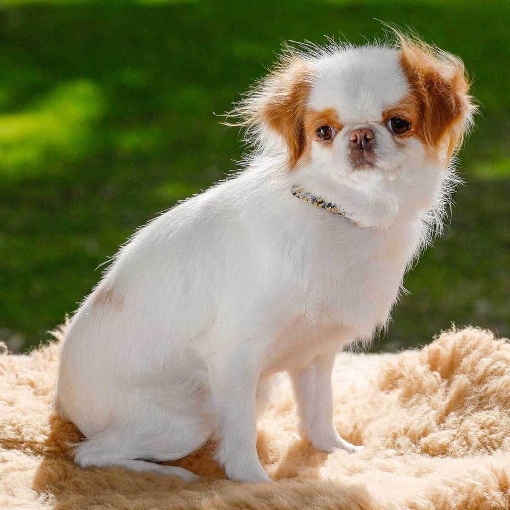 chin japonés otro de los perros más pequeños del mundo