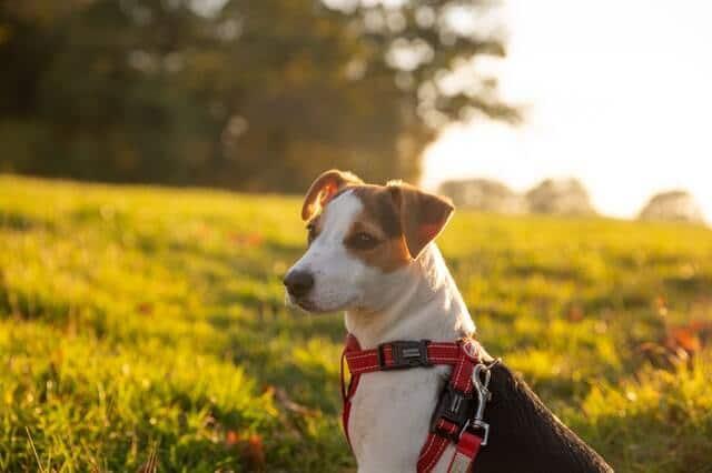 foto de cerca de perro jack rusell terrier