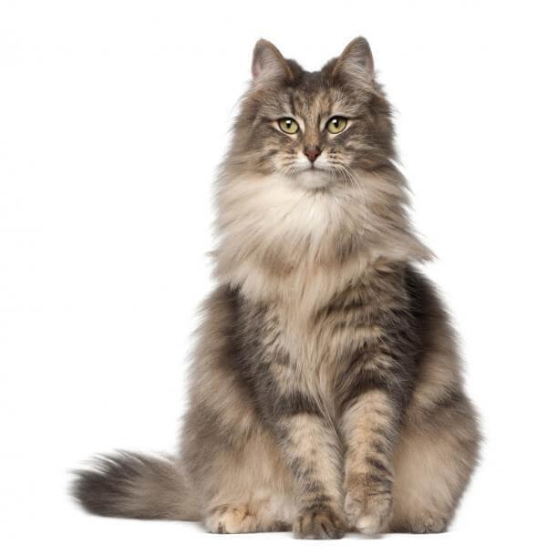 imagen del gato peludo del bosque noruego