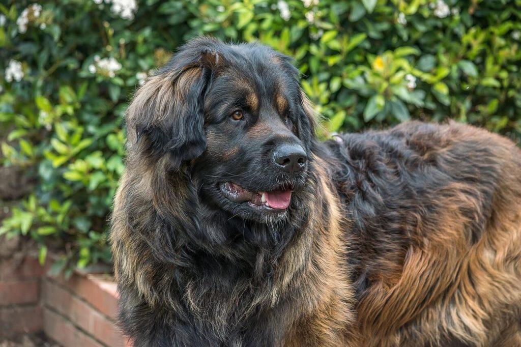 imagen perro Leonberger
