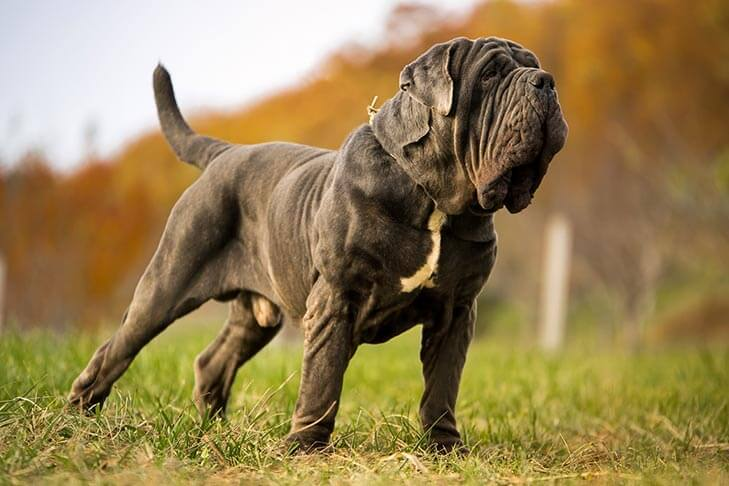 imagen perro Mastín Napolitano