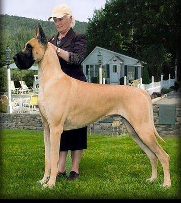 imagen-perro-gran-danés