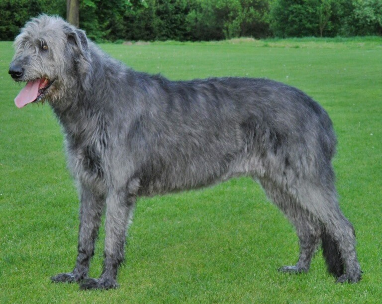 imagen-perro-lobo-irlandés