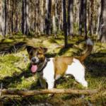 jack rusell terrier