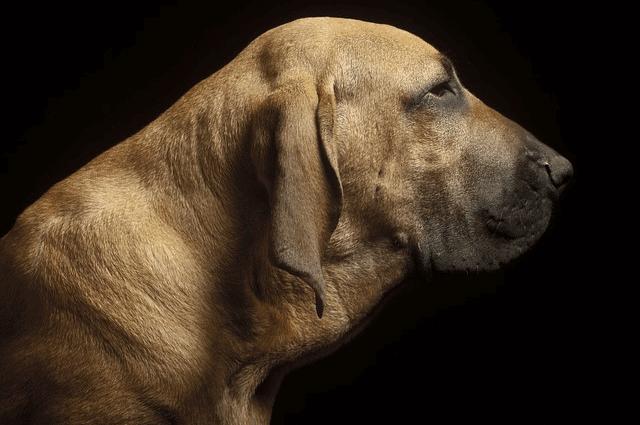 perro fila brasilero