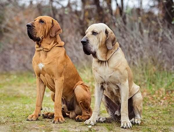 perros filas brasileros