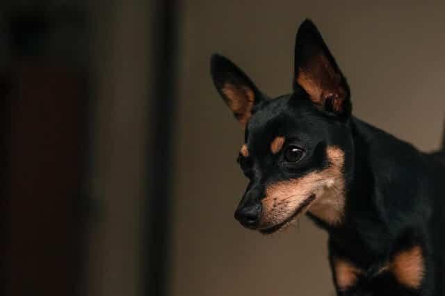pinscher miniatura uno de los perros más pequeños del mundo