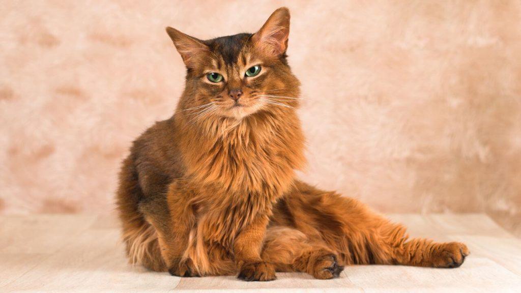 imagen de raza de gato peludo somali