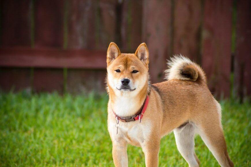 akita inu una de las razas de perro japonesas