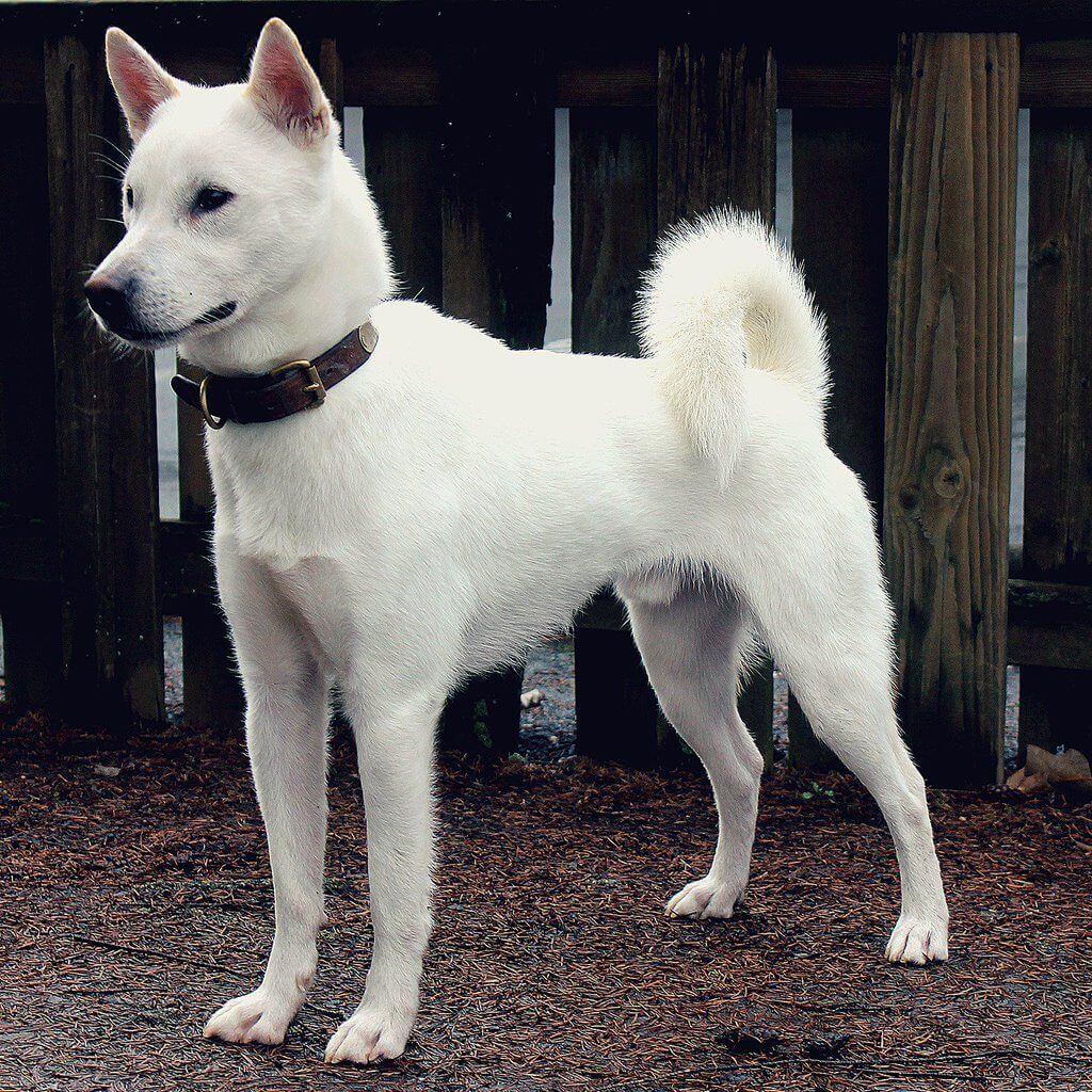 kishu ken una de las razas de perro japonesas