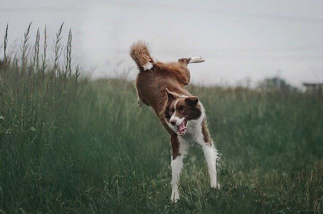 perro border collie marrón