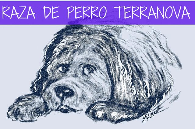 raza de perro terranova