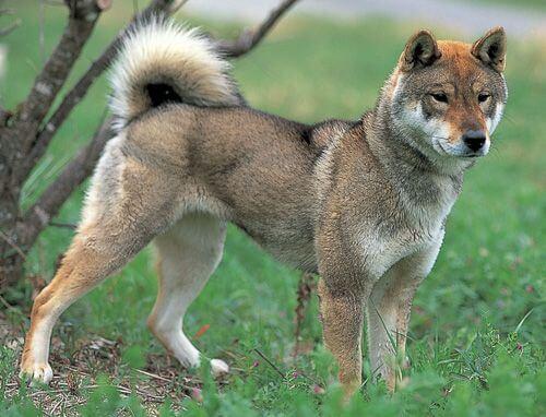 shikoku ken una de las raza de perro japonesas