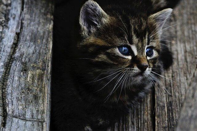 a que edad se castra un gato