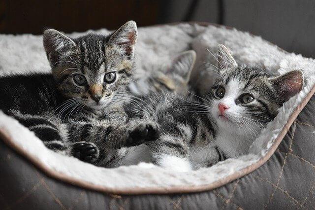 a que edad se pueden castrar los gatos