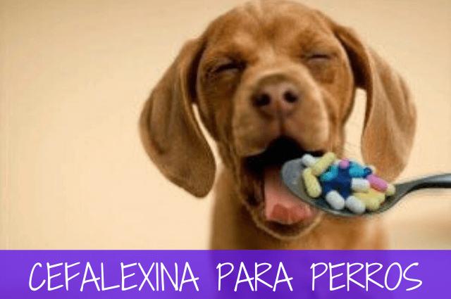 cefalexina para perros