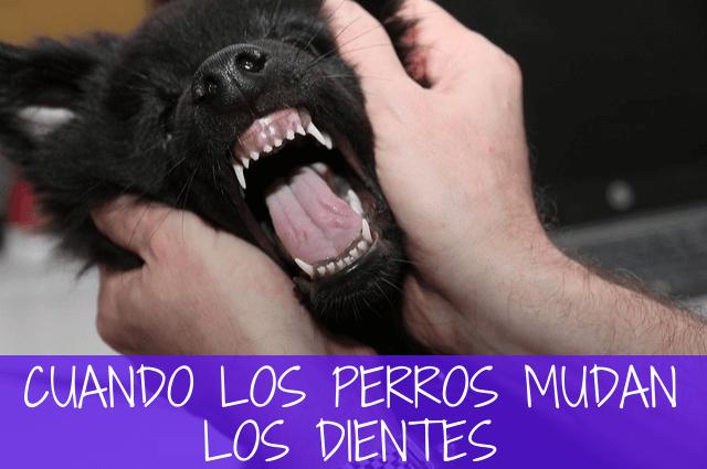 los perros mudan los dientes