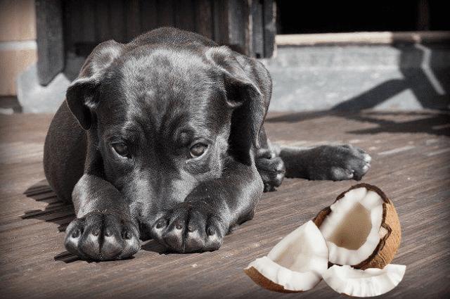 los perros pueden comer pulpa de coco