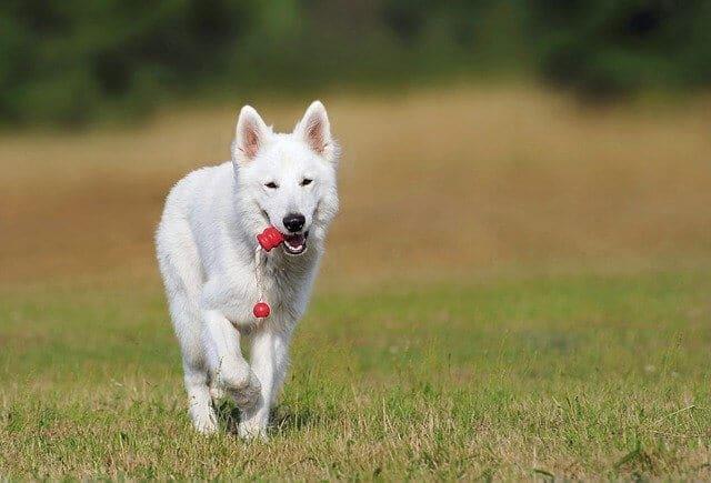 perro blanco corriendo