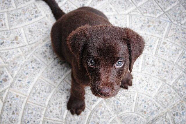 perros cachorros marrones