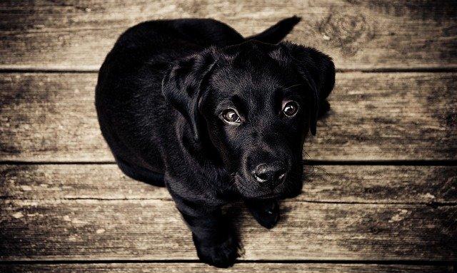 soñar con perro cachorro negro