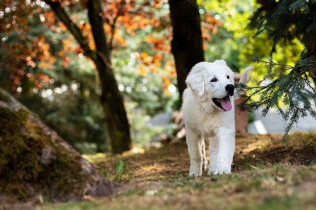 perros blancos grandes