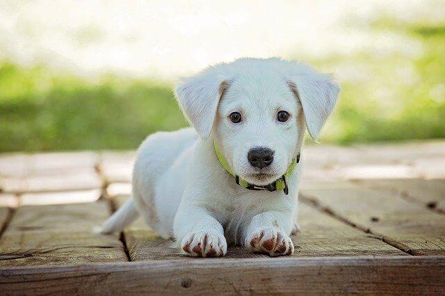 perros blancos pequeño