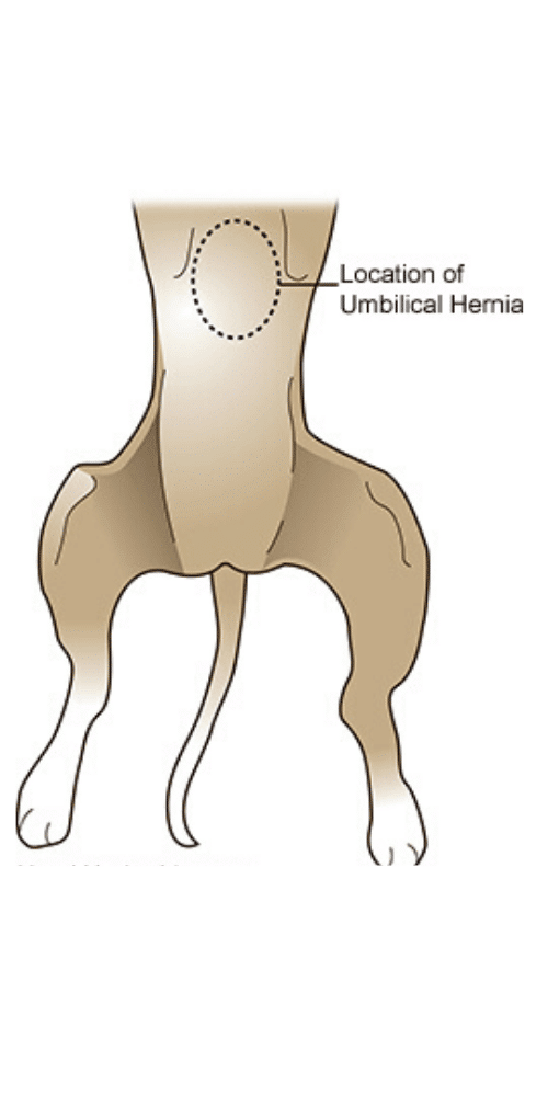 ubicación hernia umbilical en perros