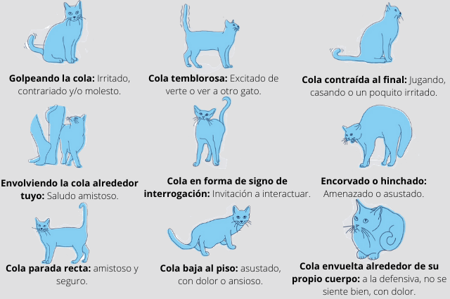 Significado de las posiciones de la cola de los gatos