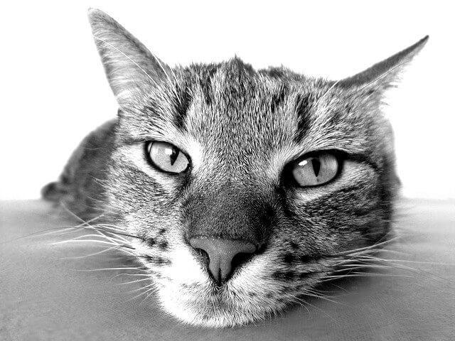 como curar la tiña en gatos