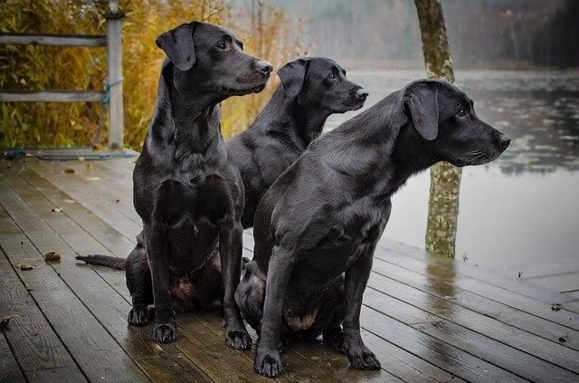manada de perros negros