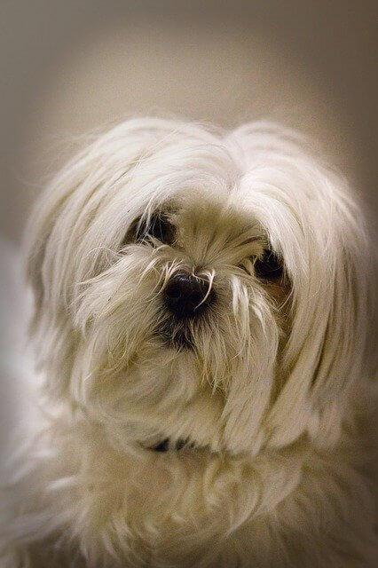 perro bichón maltés pelo largo